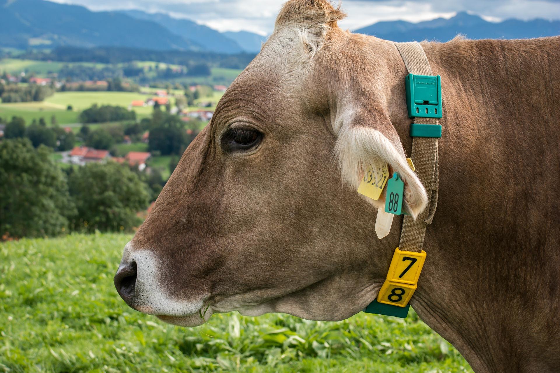 cécile cow
